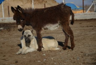 Boncuk the donkey and Kaplan the dog display unexpected friendship in a mountainous region of eastern Turkey