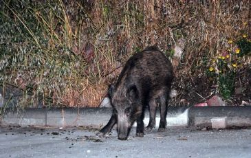 At least 15 wild boars stray into the Bodrum province in southwestern Turkey